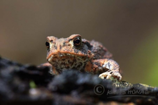 75348 – Common Toad (Bufo bufo) go on forest floor. The Common Toad is a very adaptable species of amphibians, the almost all landscapes and habitats in Europe populated  – Hesselberg region , Bavaria/Germany