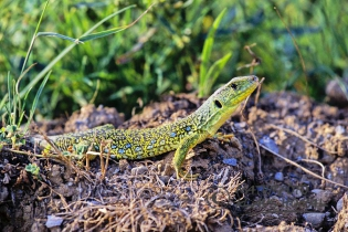 70082 – Ocellated Lizard (Timon lepidus) take  a bath in the sun – Spain