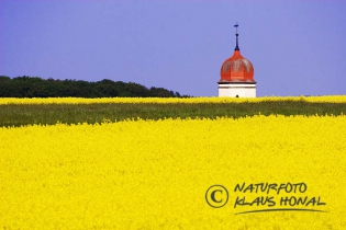 10229 - Rape field before church steeple near the village Geilsheim in Middle Franconia - Hesselberg region, Bavaria/Germany