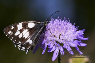 Marbled White Butterfly (Melanargia galathea) on Field Scabious (Knautia arvensis) - Hesselberg region, Bavaria/Germany
