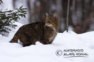 45215 - European Wildcat or Forest Wildcat (Felis silvestris) under way in a winter forest - Bavaria/Germany
