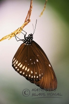 50191 - Common crow (Euploea core) hangs on plant. The butterfly belongs to the family (Nymphalidae) and reaches a wingspan of 3,0 to 3,5 inches - Sri Lanka