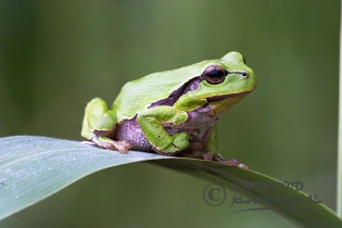 75128 – Common Tree Frog (Hyla arborea) resting on reed leaf – Hesselberg region, Bavaria/Germany