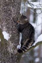 45208 - European Wildcat or Forest Wildcat (Felis silvestris) in a winter forest on tree and looks for a prey - Bavaria/Germany