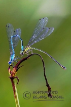 55022 - Azure Damselfly (Coenagrion puella) in tandem position – Hesselberg region, Bavaria/Germany