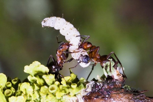 55502 - Red Ants (Formica rufa) kill a Caterpillar of (Yponomeuta spec.) - Hesselberg region, Bavaria/Germany