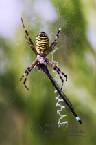 55593 – Wasp Spider (Argiope bruennichi) and Blue-tailed Damselfly (Ischnura elegans) caught in web – Hesselberg region, Bavaria/Germany
