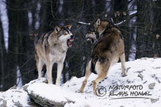 40374 - Wolves (Canis lupus) fighting on rock in winter - Bavaria/Germany