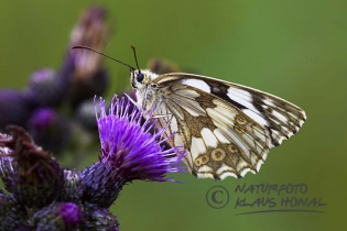 Marbled White Butterfly (Melanargia galathea) on Marsh thistle (Cirsium palustre) - Hesselberg region, Bavaria/Germany