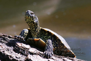 75042 - European Pond Turtle (Emys orbicularis) sunning on fallen tree – Germany