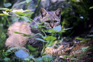 40137 - European Wildcat (Felis silvestris) in forest - NP Bavarian Forest, Bavaria/Germany