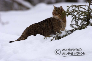 45212 - European Wildcat or Forest Wildcat (Felis silvestris) under way in a winter forest - Bavaria/Germany
