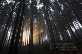 10160 - Flooded with sunlight in coniferous forest near Heidenheim – Hahnenkamm region, Bavaria/Germany
