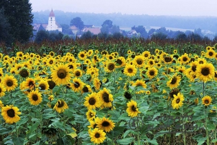 60013 - Sunflowers field in a rural idyll near a village in Middle Franconia - Hesselberg region, Bavaria/Germany