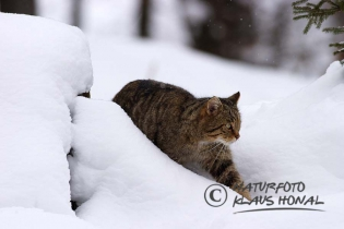45214 - European Wildcat or Forest Wildcat (Felis silvestris) under way in a winter forest - Bavaria/Germany