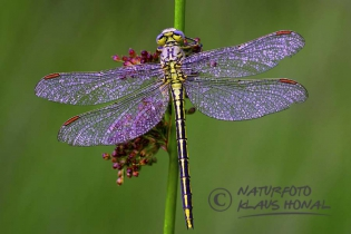 55045 - Western club-tailed (Gomphus pulchellus) dragonfly sitting on rush – Hesselberg region, Bavaria/Germany