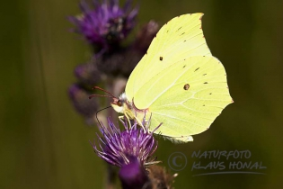 Brimstone Butterfly (Gonepteryx rhamni) sucking nectar - Hesselberg region, Bavaria/Germany