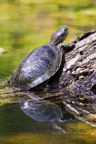 75032 - European Pond Turtle (Emys orbicularis) sunning on fallen tree – Germany