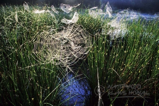 00406 - Cobwebs on rushes in moorland after a cold night - Bavaria/Germany