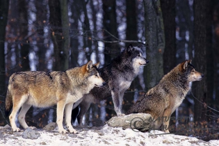 40390 - Wolves (Canis lupus) on rock in winter forest - Bavaria/Germany
