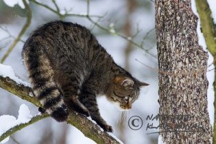 45211 - European Wildcat or Forest Wildcat (Felis silvestris) in a winter forest on tree and looks for a prey - Bavaria/Germany