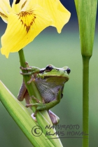 75138 – Common Tree Frog (Hyla arborea) on Yellow Flag Iris (Iris pseudacorus) – Hesselberg region, Bavaria/Germany