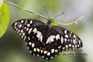 55293 - Chequered Swallowtail or Lime Swallowtail (Papilio demoleus) at sunbathing on a leaf with open wings - Sri Lanka