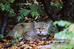 40135 - European Wildcat (Felis silvestris) resting under a tree in autumn - NP Bavarian Forest, Bavaria/Germany