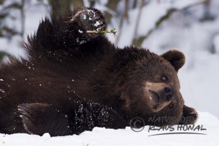 45191 - Brown bear (Ursus arctos) resting in snow with blade of grass in the paw - Bavaria/Germany