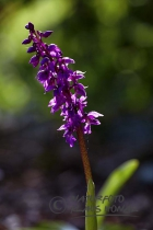 65989 - Early Purple Orchid (Orchis mascula), blooming on forest clearing - Bavaria/Germany