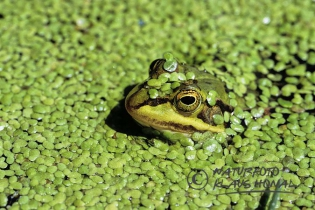 70011 – Edible Frog (Rana esculenta or new Pelophylax kl. esculentus) hiding in the water between Common duckweeds (Lemna minor), camouflage – Hesselberg region, Bavaria/Germany